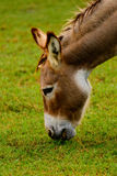 Brown and white donkey Royalty Free Stock Photos
