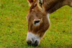 Brown and white donkey Stock Image