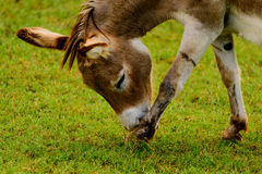 Brown and white donkey Stock Images