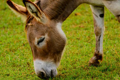 Brown and white donkey Royalty Free Stock Photo