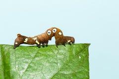 Brown and white dot caterpillar of  othreis ( Eudocima falonia ) Royalty Free Stock Photo