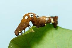 Brown and white dot caterpillar of  othreis ( Eudocima falonia ) Royalty Free Stock Photography