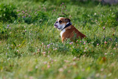 Brown-and-white English bulldog proudly sitting in the grass Stock Photo