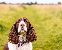 Brown and White English Springer Spaniel Dog Stock Image