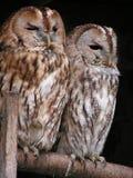 Brown White Feather Owl Stock Image