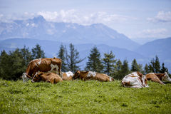 Brown and White flecked Cows in the European Alps Stock Image