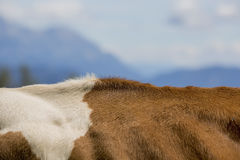 Brown and White flecked Cows in the European Alps Royalty Free Stock Photo
