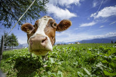 Brown and White flecked Cows in the European Alps Royalty Free Stock Photography