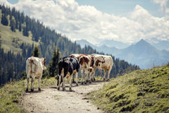 Brown and White flecked Cows in the European Alps Stock Images
