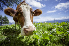 Brown and White flecked Cows in the European Alps Royalty Free Stock Photos