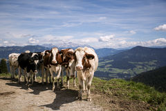 Brown and White flecked Cows in the European Alps Stock Photo