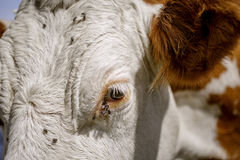 Brown and White flecked Cows in the European Alps Stock Photos