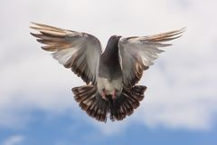 Brown and White Flying Bird on Blue Sky Royalty Free Stock Photos