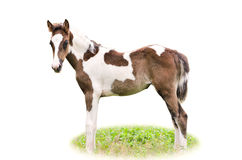 Brown and white foal isolated Royalty Free Stock Images