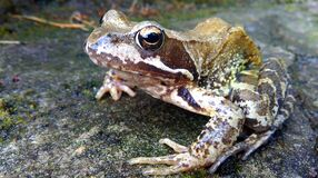 Brown and White Frog in Concrete Pavement Royalty Free Stock Photography