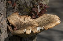 Brown an white fungus. Royalty Free Stock Photo