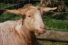 Brown and white goat Royalty Free Stock Photo