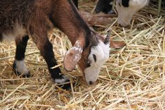 Goat Eating. Brown and white goat or billygoat eating straw in a farm royalty free stock image