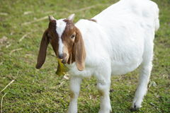 Brown and white goat. Royalty Free Stock Photography