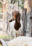 Brown and white goat Stock Photos