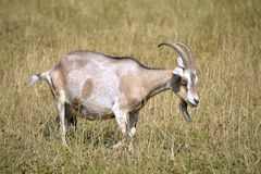 Brown and white goat in grass. Brown and white goat Capra aegagrus in grass Royalty Free Stock Photo