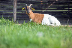 Brown white Goat Royalty Free Stock Images