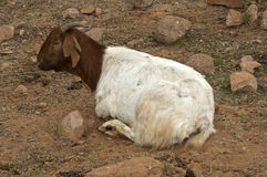 Brown-white goat Royalty Free Stock Images
