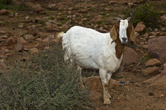 Brown-white goat Stock Image