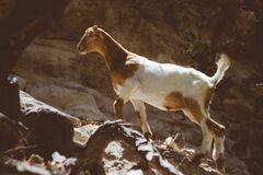 Brown and White Goat Standing on the Rock during Daytime Stock Photo