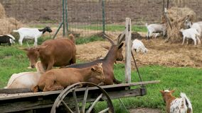 Brown and white goats are resting on the farm
