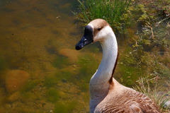 Brown and White Goose. A brown and white goose appears to be a domestic variety but was living with wild mallard ducks at a city park in Salmon, Idaho Royalty Free Stock Photo