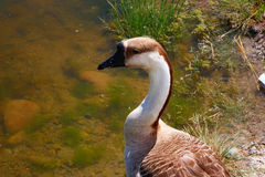 Brown and White Goose. A brown and white goose appears to be a domestic variety but was living with wild mallard ducks at a city park in Salmon, Idaho Stock Photos