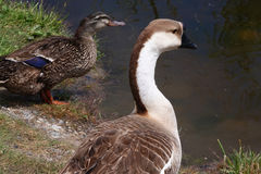 Brown and White Goose. A brown and white goose appears to be a domestic variety but was living with wild mallard ducks at a city park in Salmon, Idaho Stock Photography