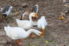 Brown and white goose in farm Royalty Free Stock Photos