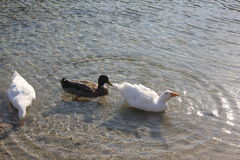 Brown and white goose. On the lake Royalty Free Stock Images