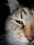 Brown, white, grey and black detail on a cat face against a black background.  Stock Photography