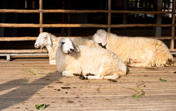 Brown and white group sheep sleep. Brown and white sheep lying on the ground royalty free stock photography