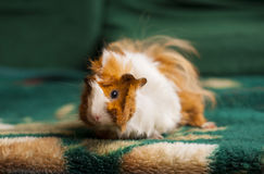 Brown and white guinea pig sitting Stock Photos