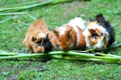 Brown White Hamster Royalty Free Stock Photography