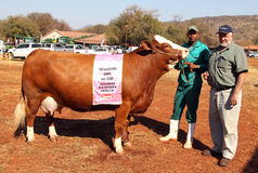Brown with white on head Simmentaler champion cow Stock Image