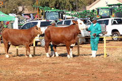 Brown with white on head Simmentaler cows lead by handler photo Stock Image