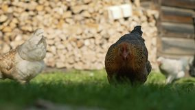 Brown and white hen in farmyard with fire wood wall in the background. Brown and white young hen in sunny green grass farmyard with fire wood wall in the stock footage