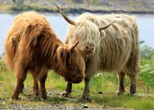 A brown and a white highland cow near a loch royalty free stock photos