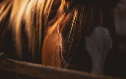 Brown and White Horse Royalty Free Stock Image
