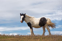 Brown and White Horse with Blue Sky Royalty Free Stock Photography