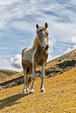 Brown and white horse Stock Photography