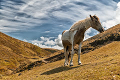 Brown and white horse Royalty Free Stock Photography