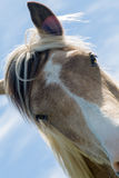 Brown and white horse Stock Image