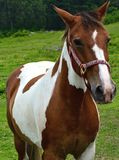 Brown and White Horse Standing in Green Pasture on a Farm Royalty Free Stock Image