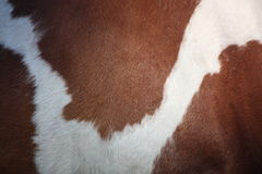 Brown and white horse fur Stock Image